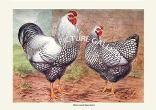 Silver-Laced Wyandottes